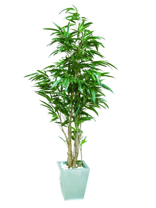 Billede af Kunstig Ficus longifolia, 210cm