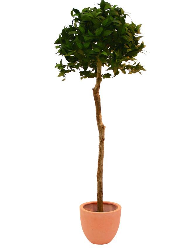 Billede af Kunstig Laurel Ball Tree, 120cm