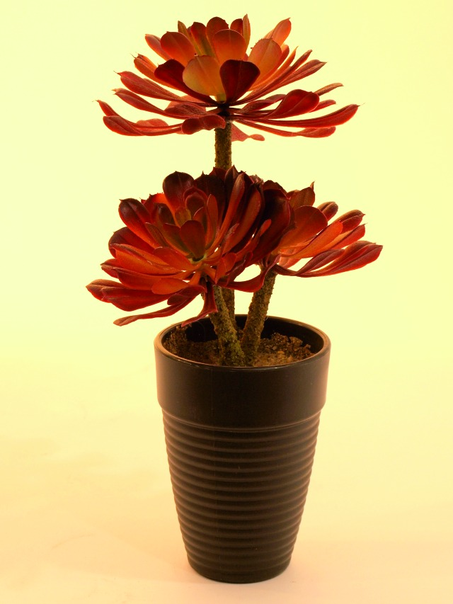 Billede af Kunstig Aeonium sukkulent, mørkerød, 28 cm